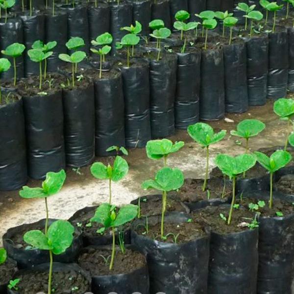 Bolsas para Cultivo Almidon de Maiz